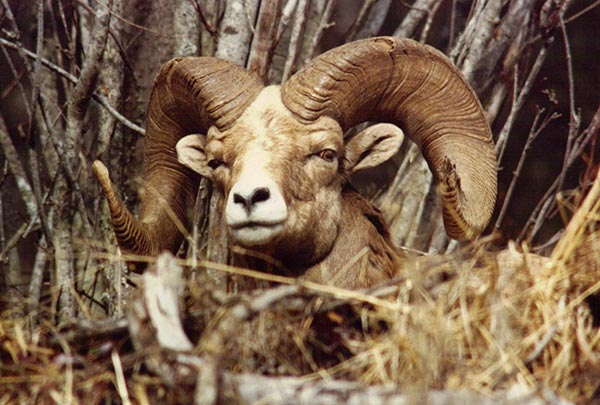 Bighorn-Sheep-1992-resized.jpg