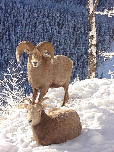 Kootenay-Bighorn-Sheep-2006-resized.jpg