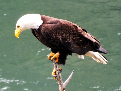 Bald-Eagle-smaller.jpg