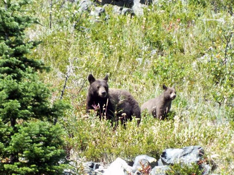 Brown-Black-bear-with-cub-smaller.jpg
