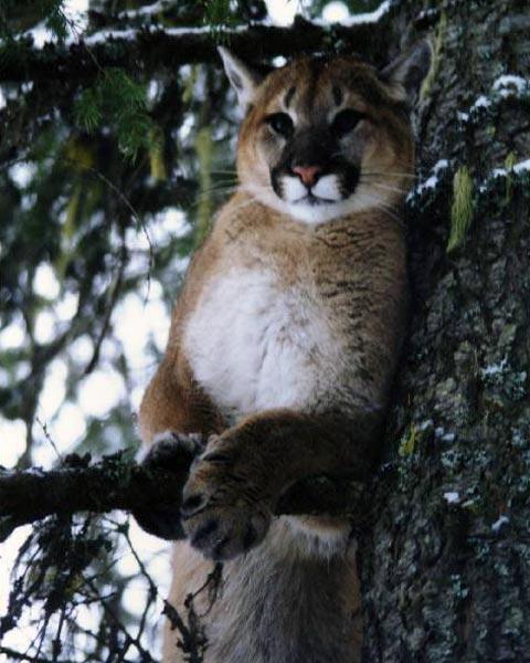 Female-Cougar-smaller.jpg