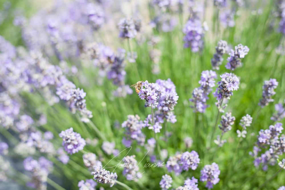 honeybee and lavender July 2016
