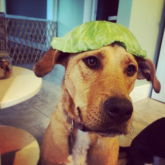 """""""Do you like my cabbage hat?"""" #dogs #cute #dog #puppy #puppies #doglovers #dogoftheday #dogsofinstagram #cabbage #funny"""