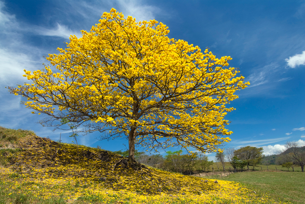 Gold tree (Cortez Amarillo)