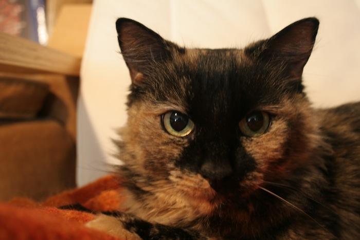Torus Shell Cat Breed