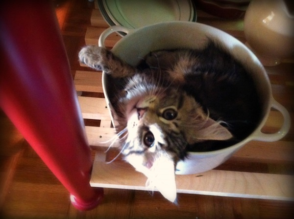 Maine Coon Kitten in a cooking pot
