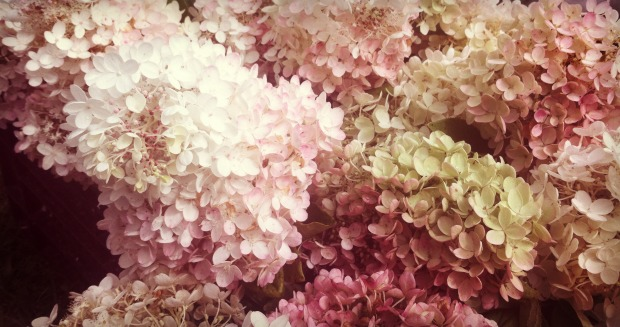 White and Pink Hydrangeas