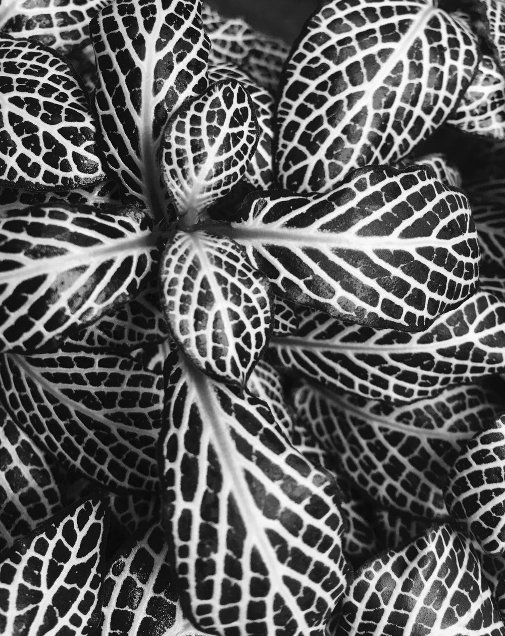 Leaf pattern © Naida Ginnane 2018, iPhone 6, Camera on 'Mono' setting.  The contrasting patterns on the leaves of this plant create a great design element in black and white. Without the usual green tones, the image could be anything.