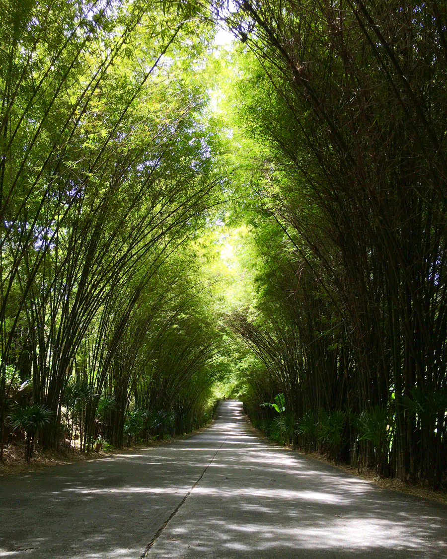 Bamboo Arch © Naida Ginnane 2017, iPhone 6  This road is beautifully framed by the curved lines of the bamboo. The position of the camera creates a sense of perspective moving back into a vanishing point, giving the viewer a sense of distance and mystery...where does the road lead?