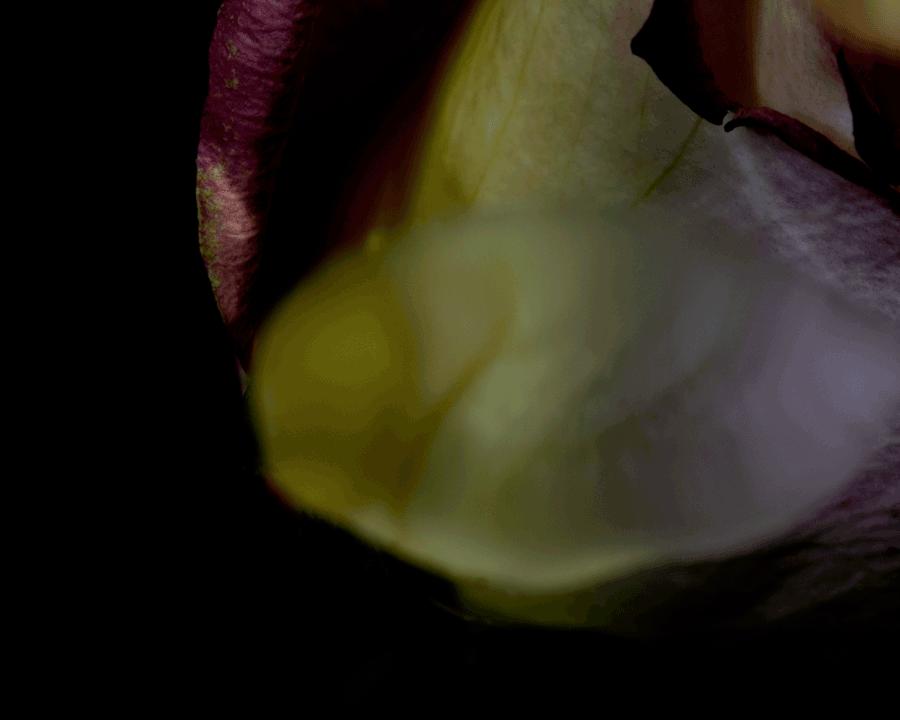 Pink&Yellow-rose.png