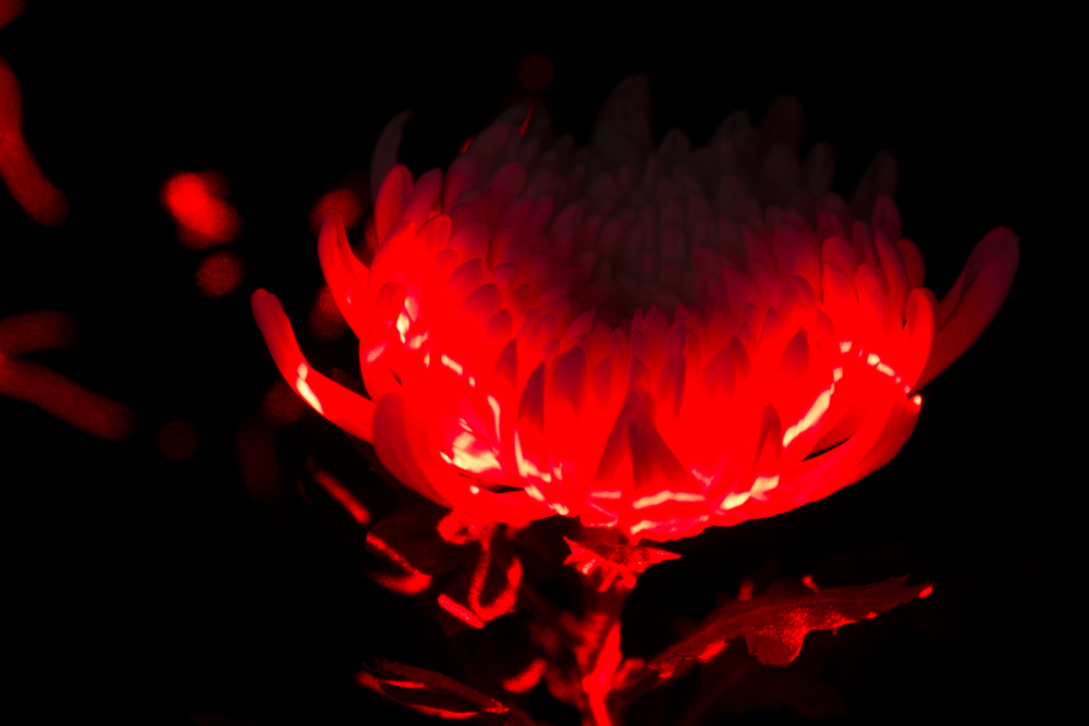 WEEK 5: Light Painting.  'Light Painted Flower' © Naida Ginnane 2018, Nikon D800, 24-70mm lens, f/14, 25 sec ISO 100. This challenge forced me to try something I've never attempted before- painting with light. I had a ball playing with this technique, working out optimal exposure settings- with lots of trial and mostly errors. I loved it so much that I went on to develop this technique in some of my fine art photographs.