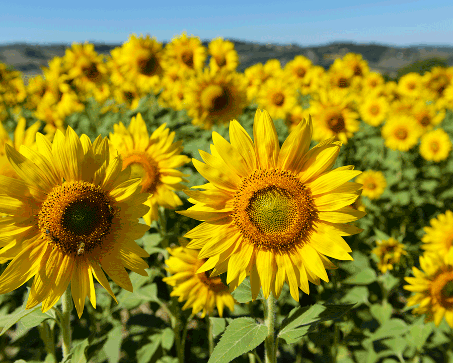 'Sunflowers' © Naida Ginnane 2016,  Nikon D800 24-70mm lens, 1/500, f/6.3, ISO 80, +33. Beautiful sunflowers all facing the same way, but in different sizes is wonderfully chaotic, yet cheery.