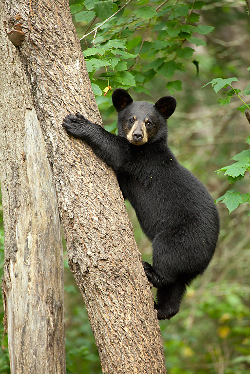 black-bear-cub-picture-free-gigantic-nipples-porn-vids