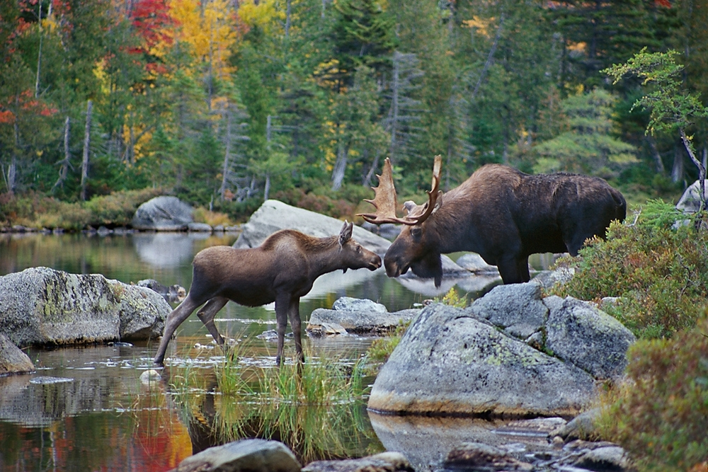 Maine Moose Photography Tours and Workshops