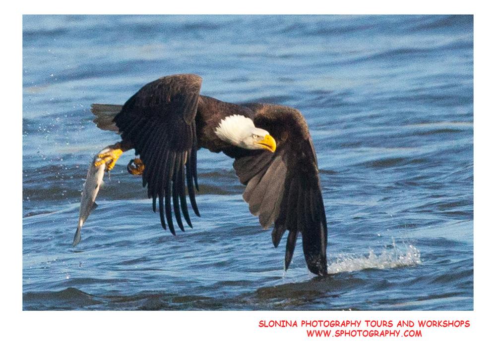 Bald_Eagle_Fishing_Photo_Workshop