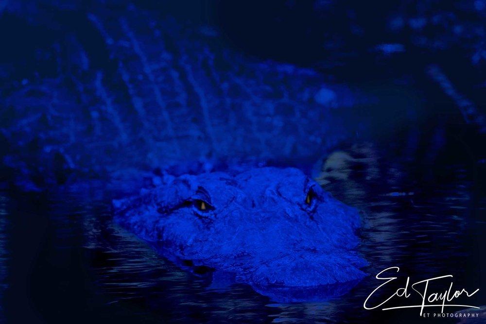 American Alligator lurking in the Everglades