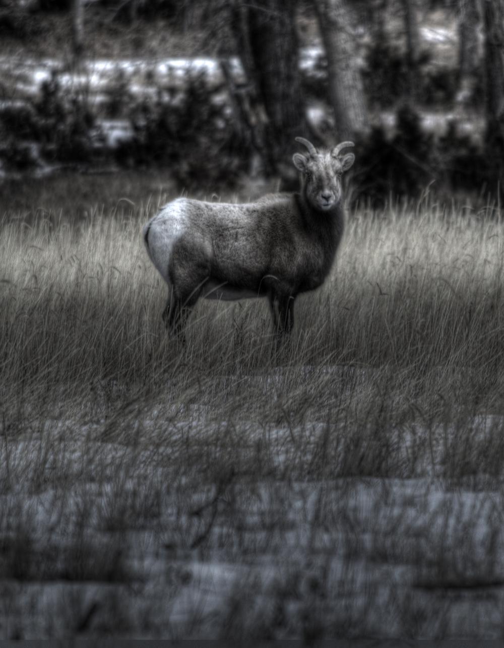 bighorn ewe.jpg