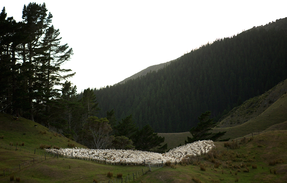 NZ_Sheep_Culture_ 003.jpg