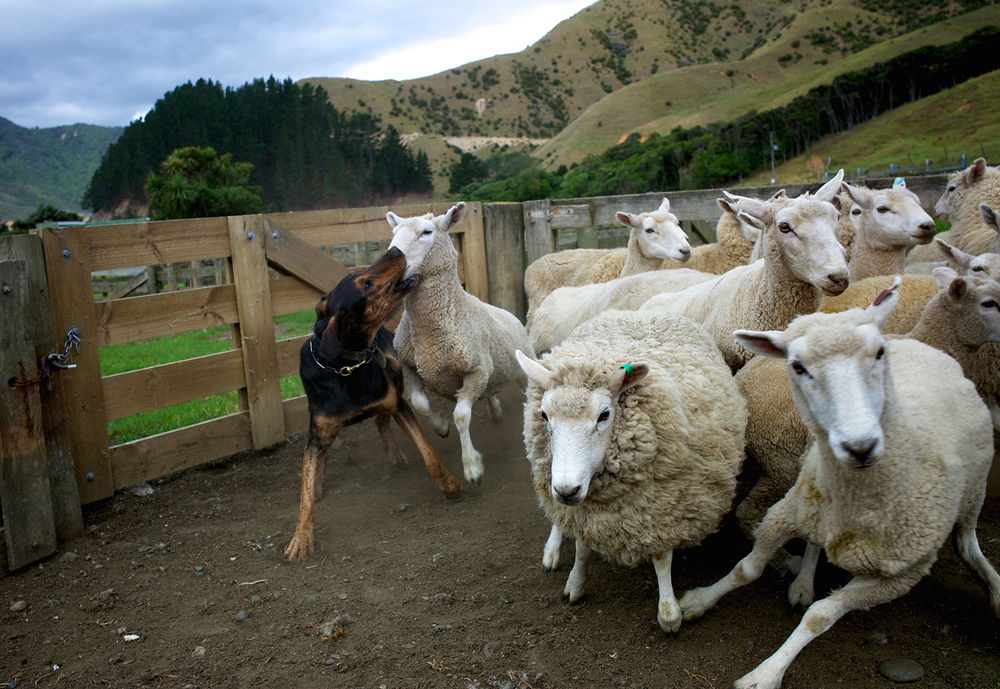 NZ_Sheep_Culture_ 009.jpg