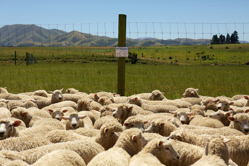 NZ_Sheep_Culture_ 040.jpg