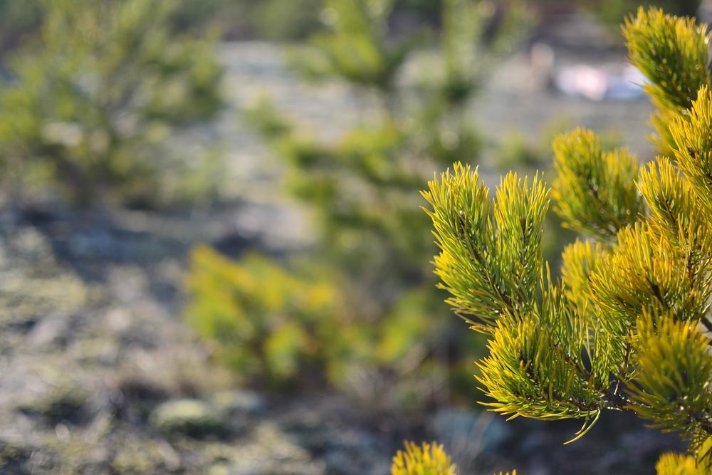 yellow pine branch.JPG