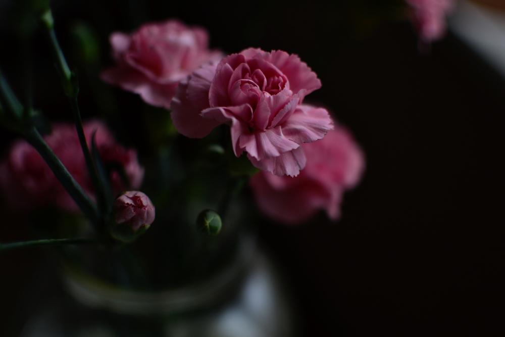 carnation early morning.JPG