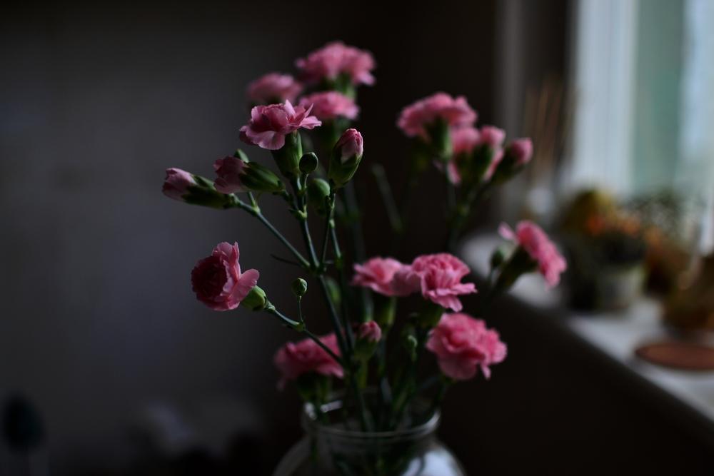 boanical indoors carnation.JPG