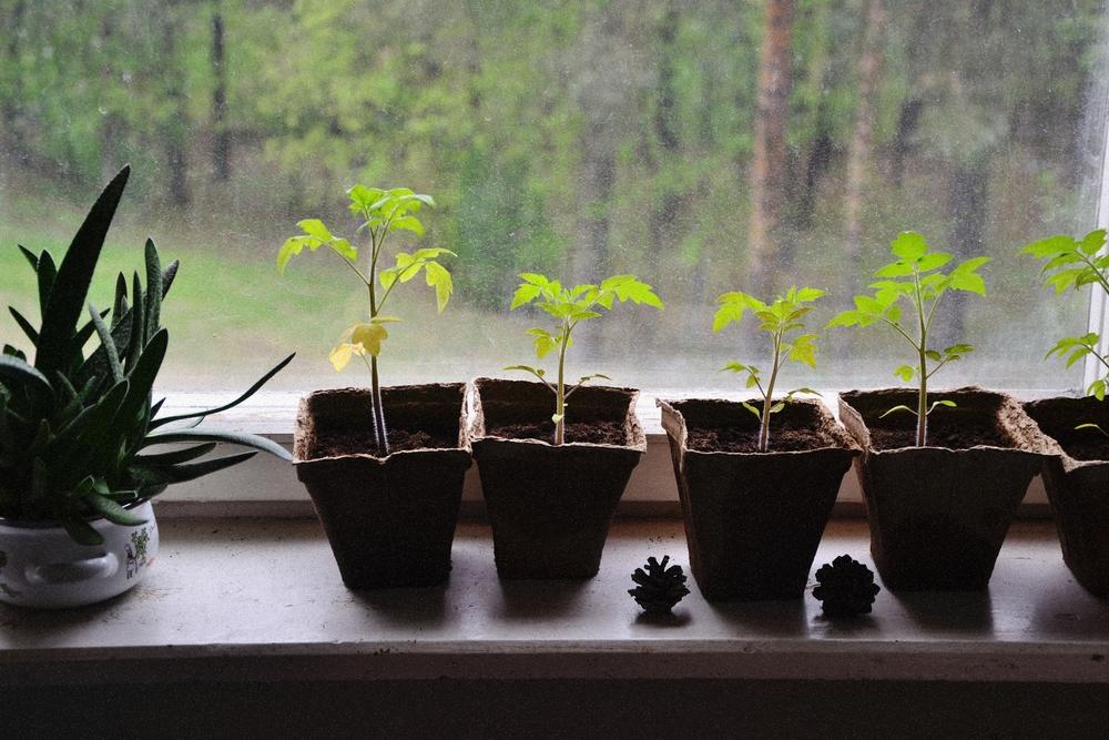 tomatoe plants.JPG