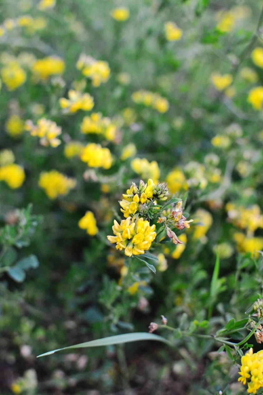 meadow golden flower