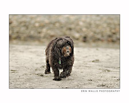 Chico the sandy dog