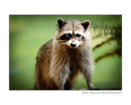one eyed raccoon