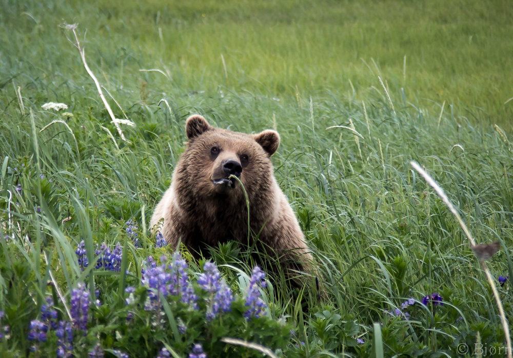 Bear in Lupine.jpg