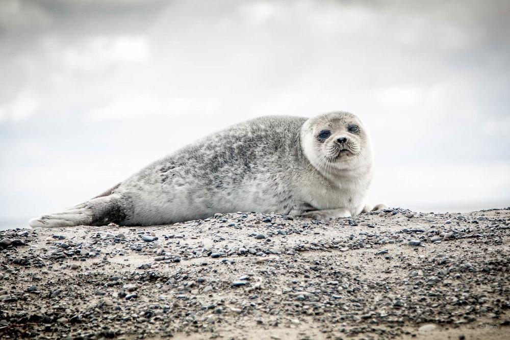 Spotted seal pup - Arctic Alaska.