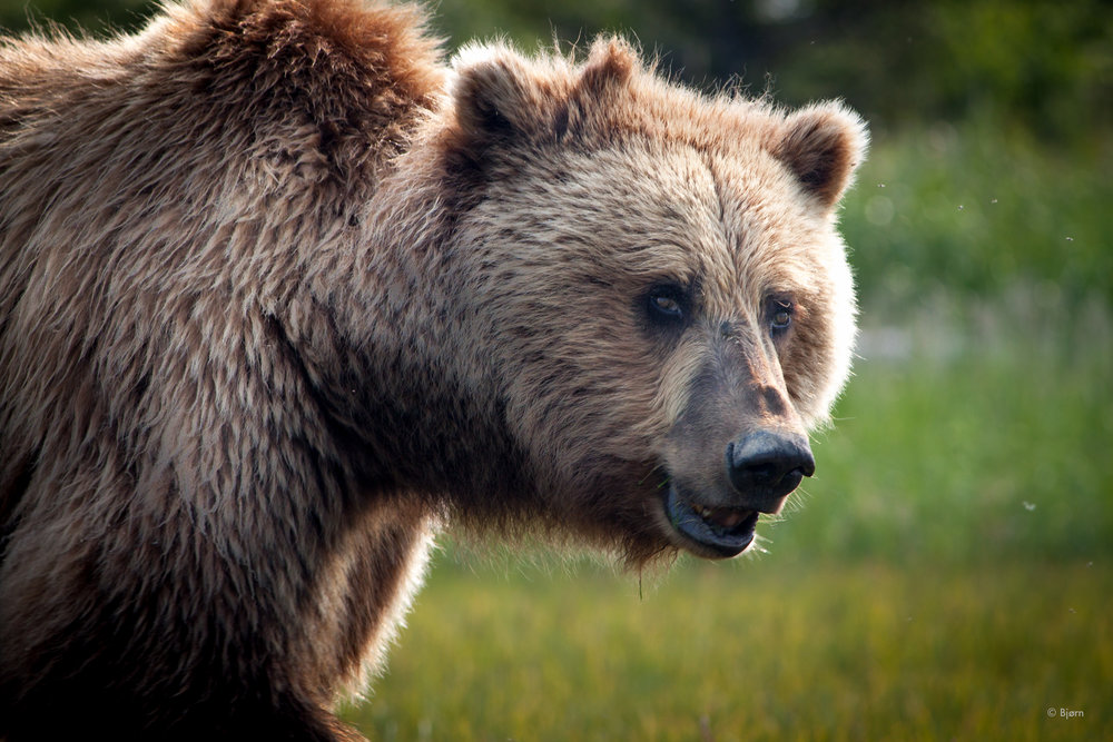 An Alaskan coastal brown bear.