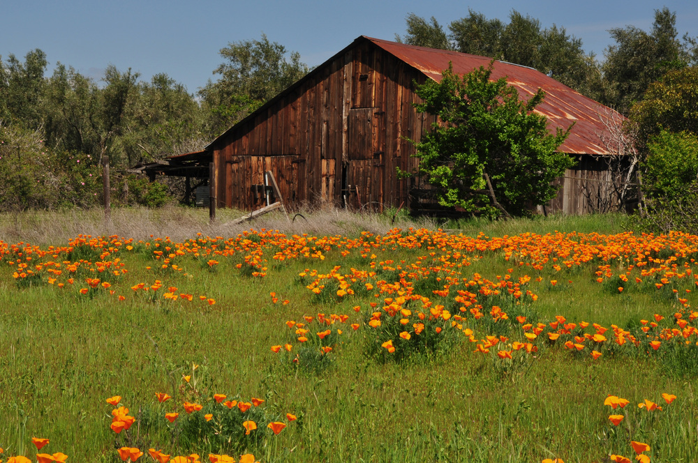 Barn in poppies-2.jpg