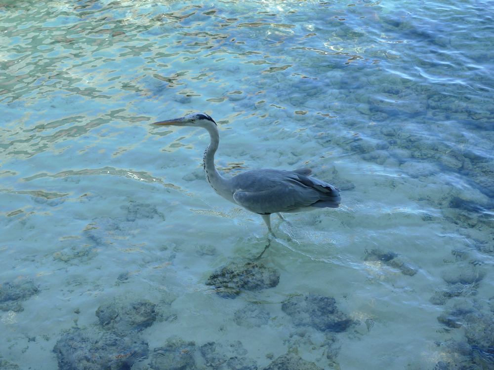 Heron wading on the beach at Boduhithi