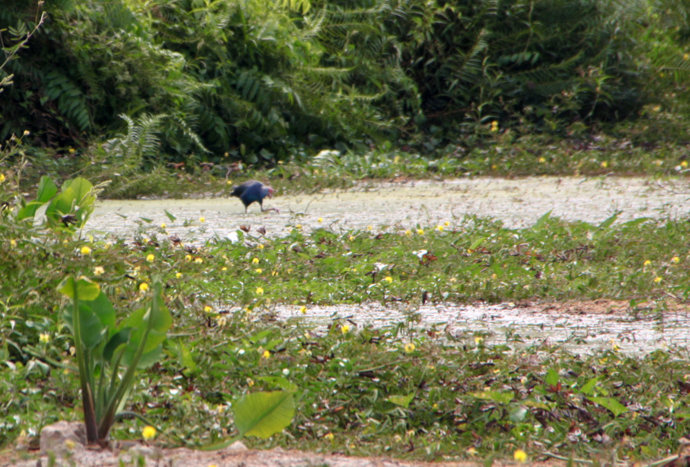 Swamphen Kranji Marshes SCLD