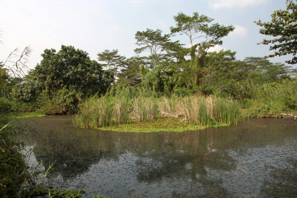 The pond at Kranji Marshes