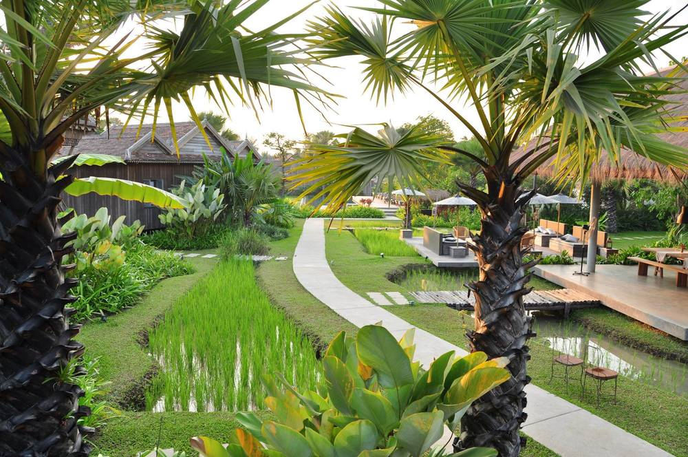 Rice paddies recently replanted at sala lodges resort in for Hotel landscape design
