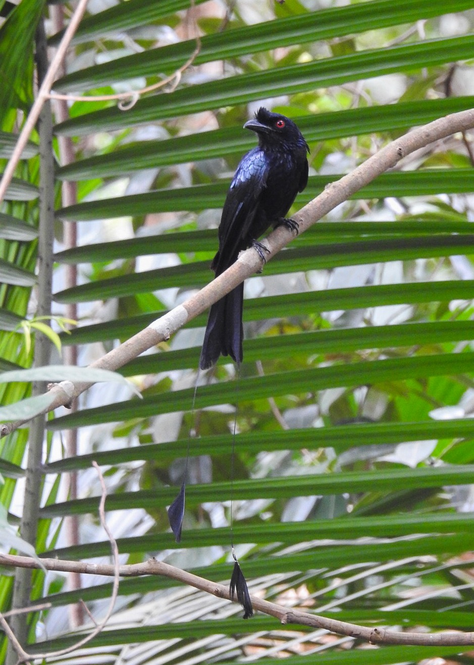 Greater Racket-tailed Drongo in the Learning Forest