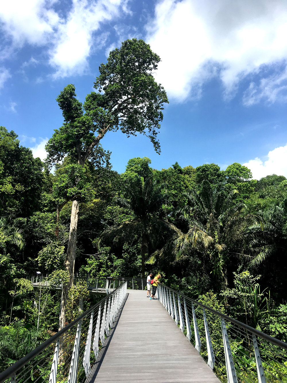 View along the Wetlands Elevated Walkway looking towards the conserved lowland forest. The tall Syzygium sp. on the left was retained by shifting the initial alignment of the high level walkway. The walkway is approximately 7.5m from the water level of the lake. Photo by Stephen Caffyn Landscape Design