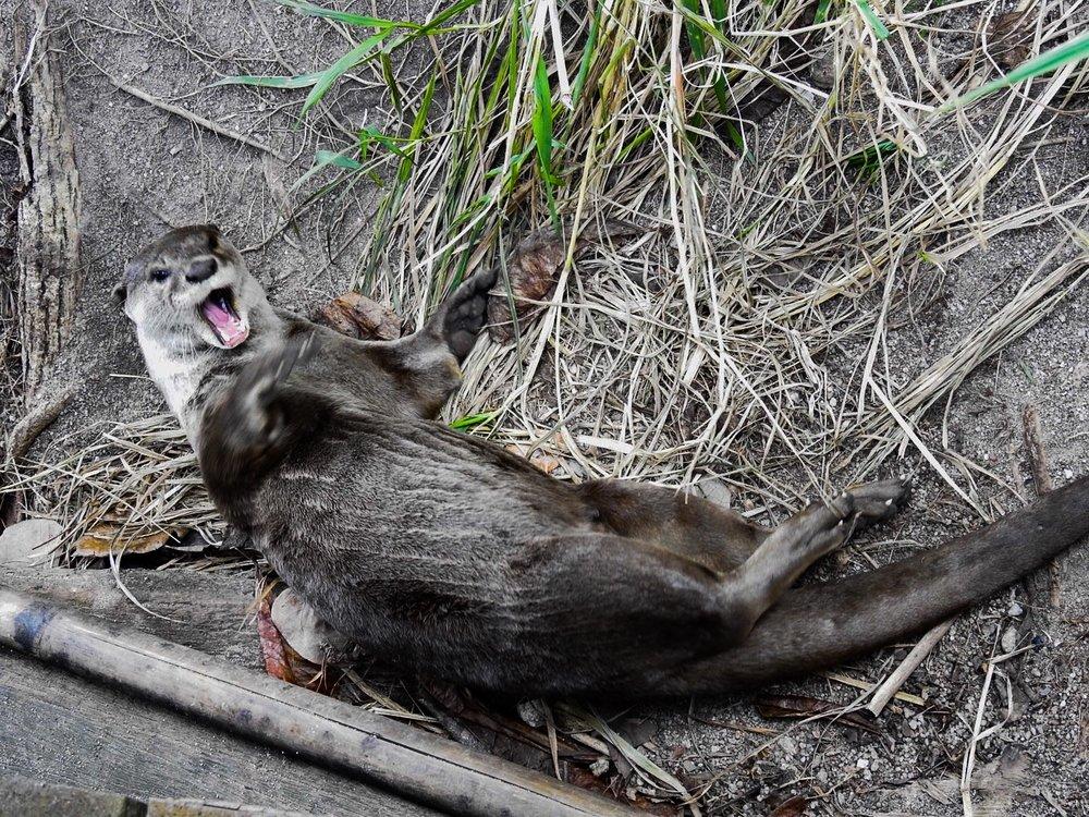 Otter joking around