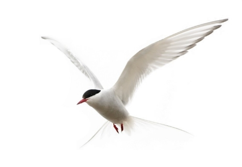 blanked out tern.jpg