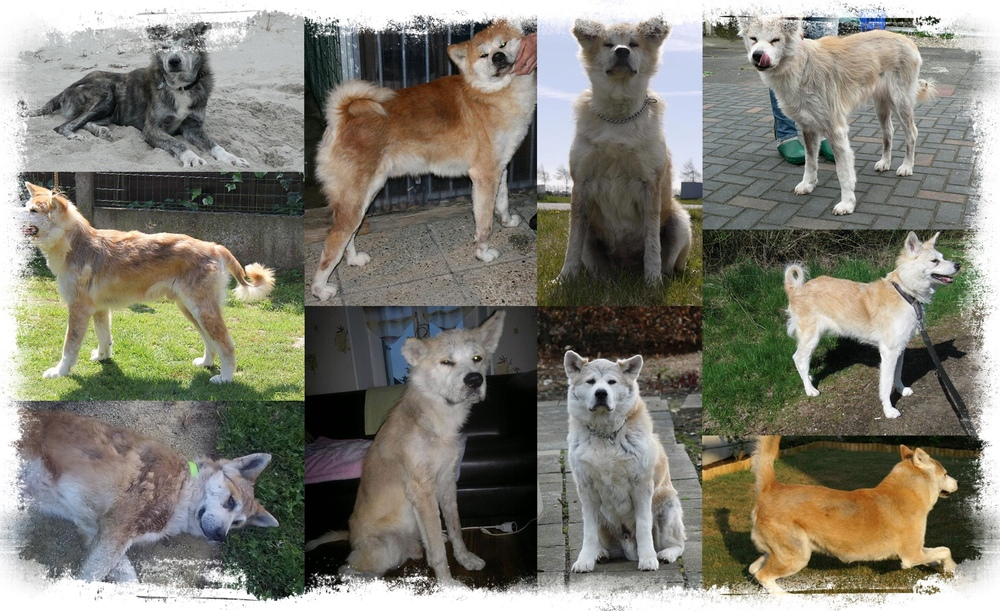 Several examples showing the clinical symptoms of sebaceous adenitis in japanese akita inu