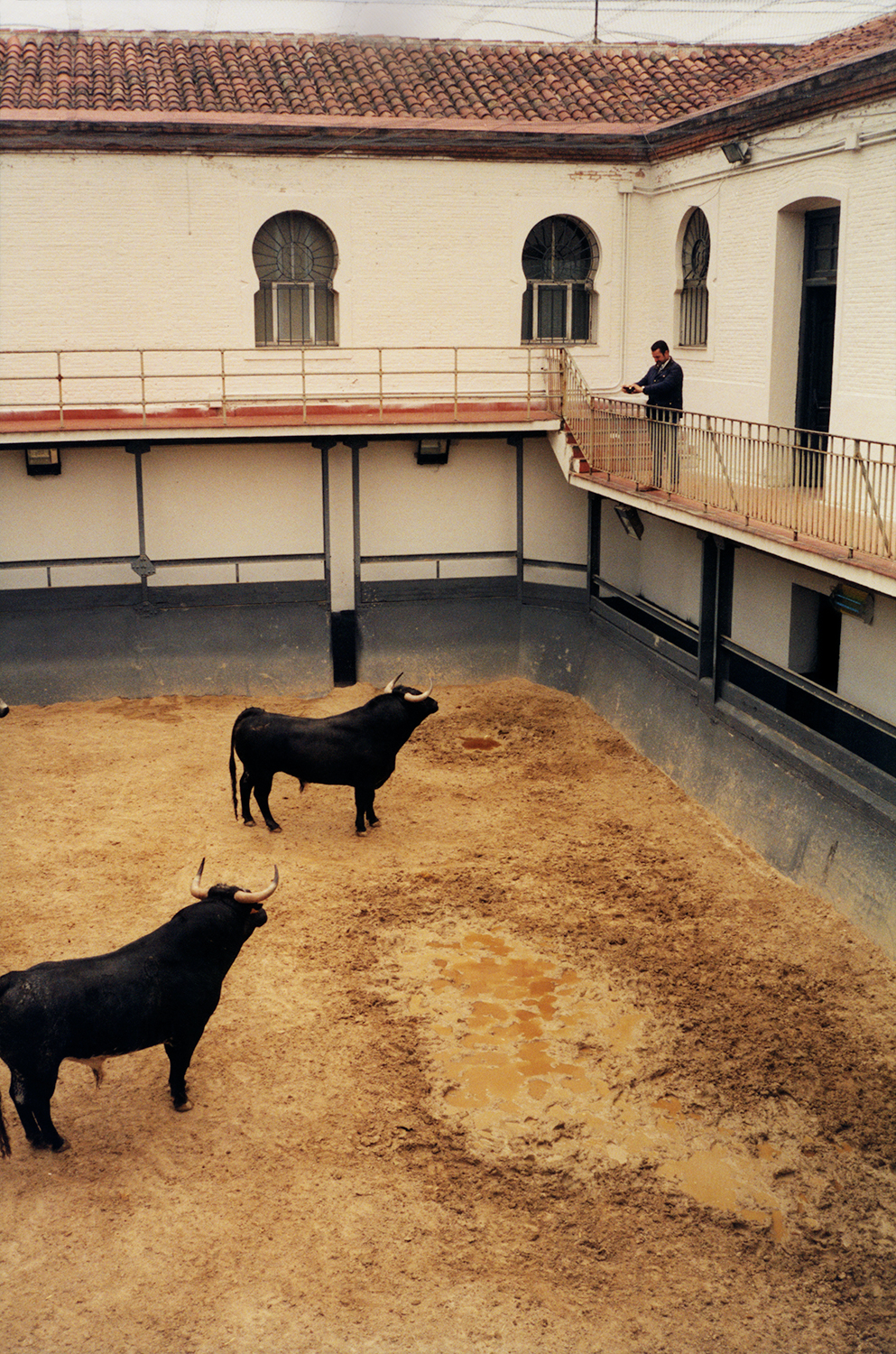 Two Bulls In the Madrid Corral, 2016