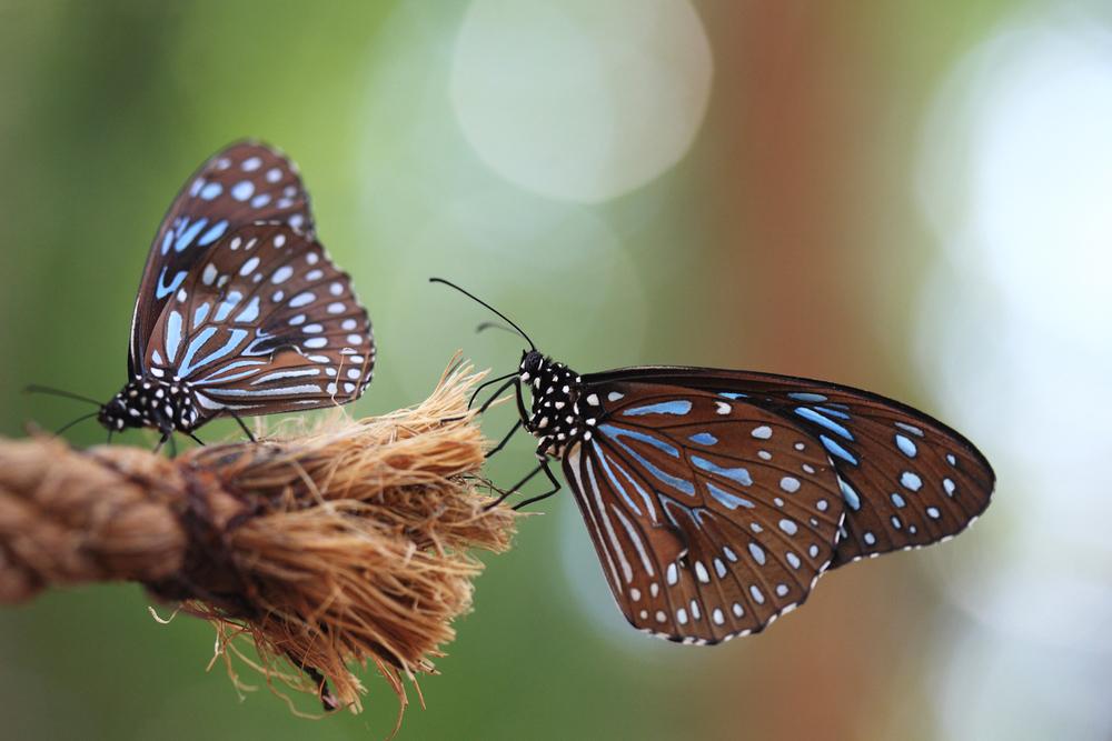 Sommerfuglen Klippeblåvinge trives godt på Østfoldkysten