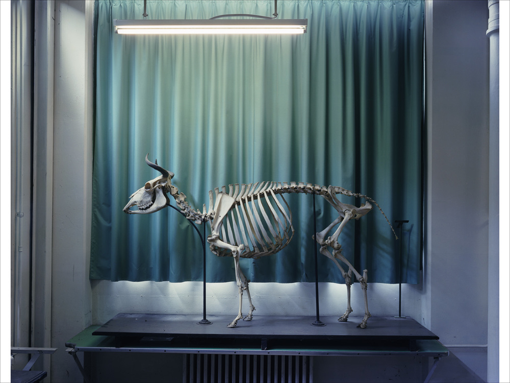Cow 2005, Musee Fragonard Paris