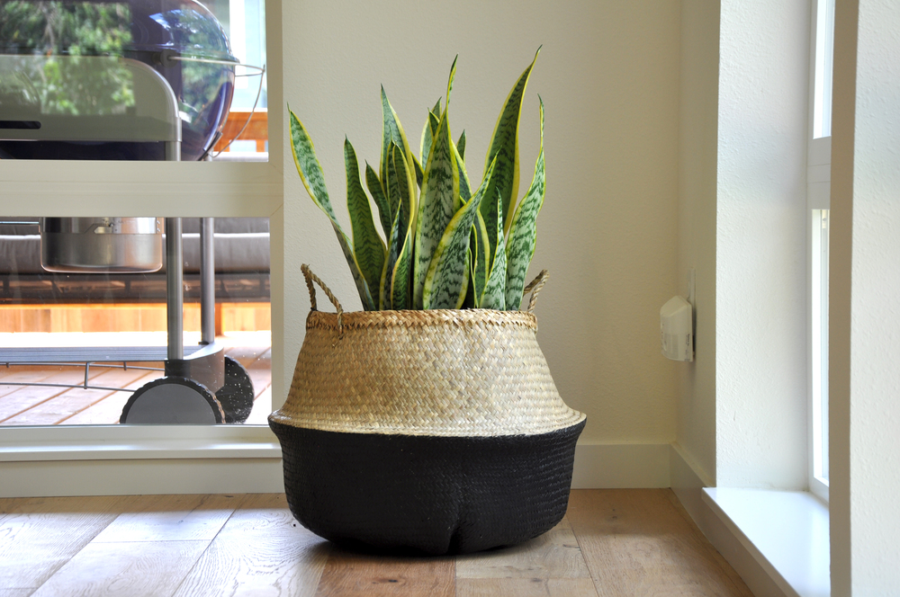 Natural/Black Plant Basket | Snake Plant |