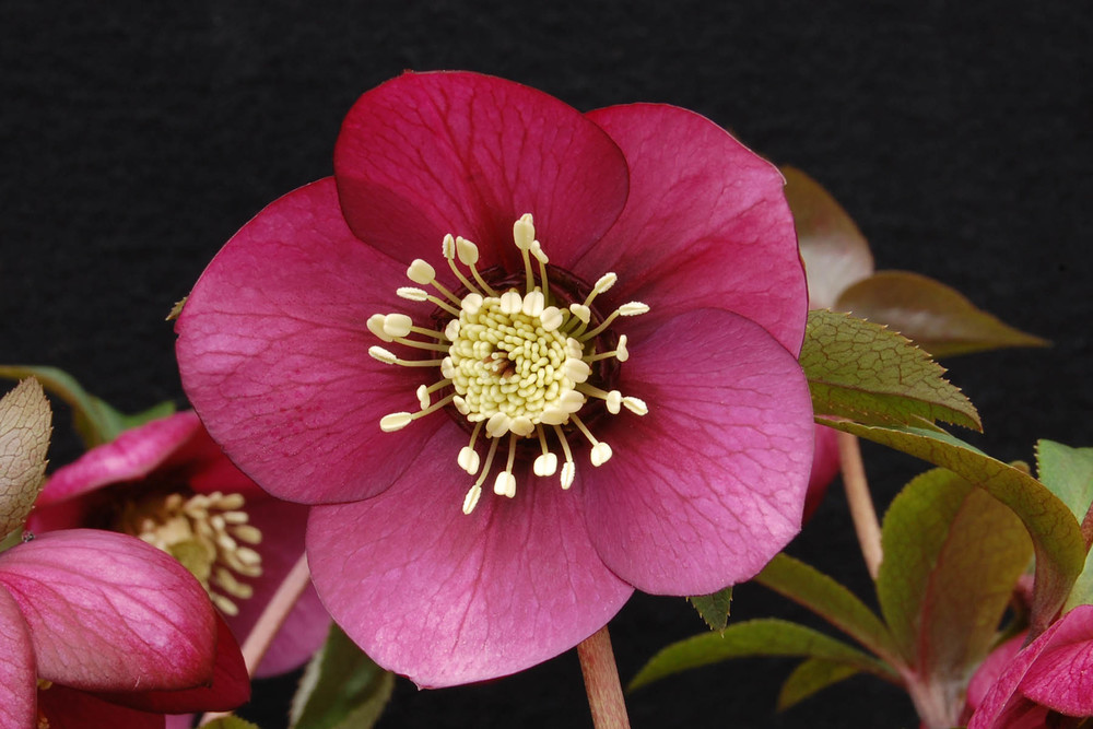 Helleborus 'Ruby Wine' - Sold Out - Available Spring 2015
