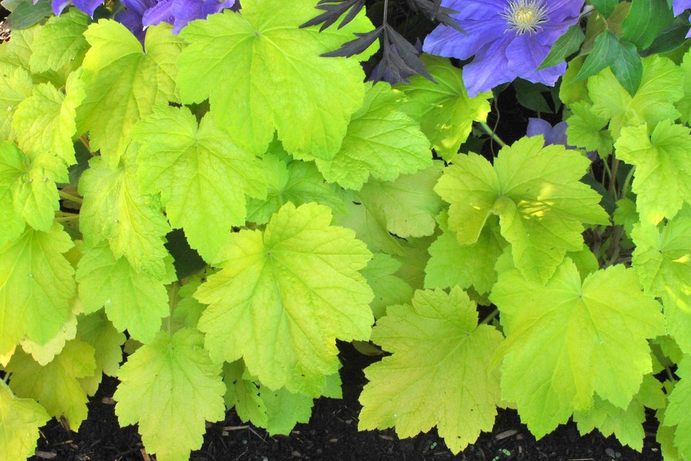 Heuchera Electric Lime  Sold out